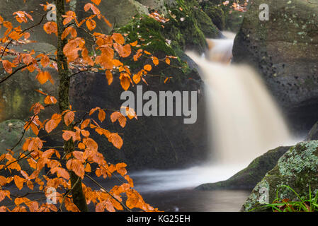 Common beech (Fagus sylvatica) tree and waterfall, Padley Gorge, Peak District, Derbyshire, England, United Kingdom, - Stock Photo