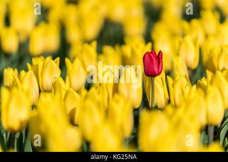 Single red tulip in a field of yellow tulips, Yersekendam, Zeeland province, Netherlands, Europe - Stock Photo