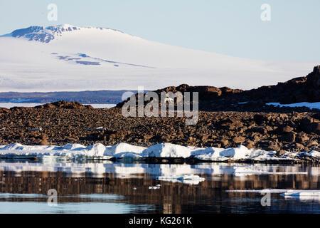 Polar bear (Ursus maritimus), Spitsbergen, Svalbard, Arctic, Norway, Europe - Stock Photo