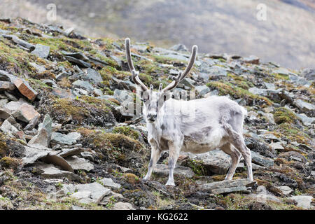 Reindeer (Rangifer tarandus), Spitsbergen, Svalbard, Arctic, Norway, Europe - Stock Photo