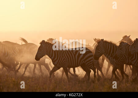 The Migration, common zebra (plains zebra) (Burchell's zebra) (Equus burchelli), Serengeti National Park, Tanzania, - Stock Photo