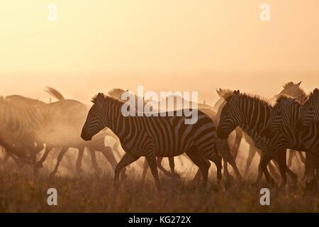 The Migration, common zebra (plains zebra) (Burchell's zebra) (Equus burchelli), Serengeti National Park, Tanzania, - Stock Photo