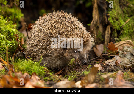 Hedgehog, wild, native, European Hedgehog foraging for food in Autumn leaves. Facing right. Scientific name: Erinaceus - Stock Photo