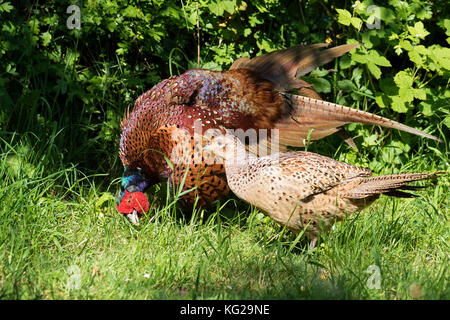 Pheasant, Phasianus colchicus, adult male displaying to female during courtship. Worcestershire, UK. - Stock Photo