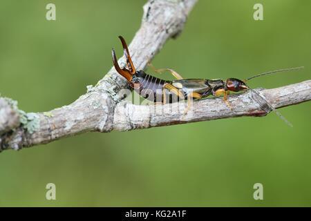 Common European earwig, Forficula auricularia - Stock Photo