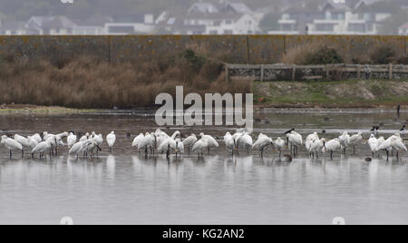 A large group of more than 30 Eurasian spoonbills (Platalea leucorodia) roosting and preening in a quiet lagoon - Stock Photo