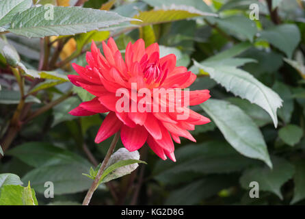 Edwin's Sunset Dahlia flower, closeup dahlia flower in full bloom in the garden. - Stock Photo