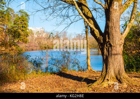 The tree on the shore of Candler Lake in the Lullwater Park in sunny autumn day, Atlanta, USA - Stock Photo