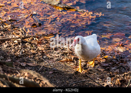 The Muscovy duck walking on the shore of lake closeup - Stock Photo