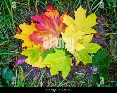 Pile of colorful maple leaves lying on the ground surrounded by grass - Stock Photo