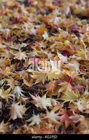 Seattle, Washington: Fallen Japanese Maple leaves near the Seattle Asian Art Museum in Volunteer Park. - Stock Photo