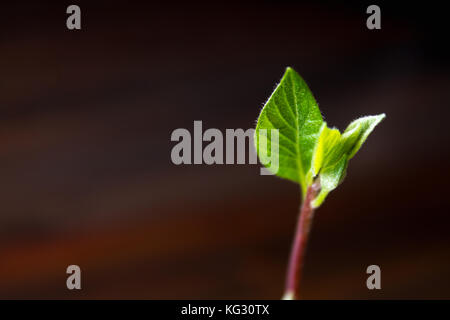 The avocado sprout grows from the seed in a glass of water. A living plant with leaves, the beginning of life on - Stock Photo