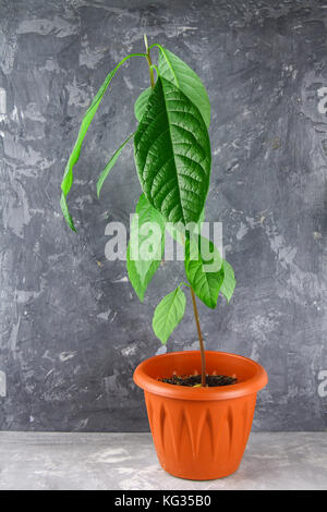 A young avocado sprout with leaves in a pot with earth. Gray dark concrete background. The tree of avocado