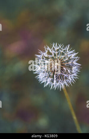 Common dandelion - Taraxacum officinale, seed head phase, photographed outdoor in daylight, Europe, Serbia - Stock Photo