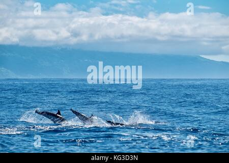 three striped dolphins diving in formation - Stock Photo