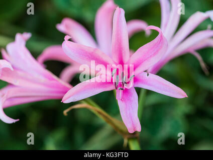 A macro shot of a pink nerine bowdenii. - Stock Photo