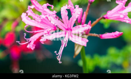 A macro shot of a pink nerine bowdenni bloom. - Stock Photo