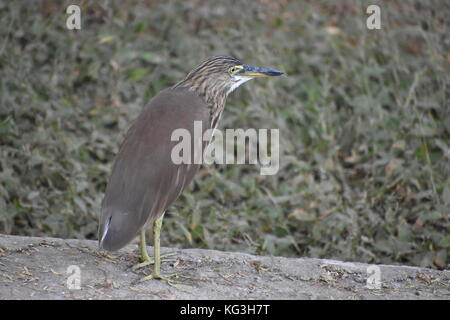 Short-Necked Heron spotted in New Delhi. Often in shaded areas along edges of ponds, walking on fallen logs and - Stock Photo
