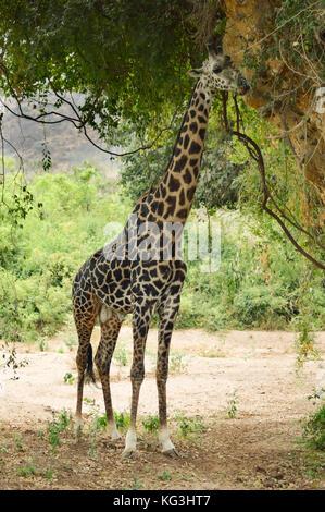 Giraffe eating leaves of a tree in Lake Manyara National Park in Tanzania - Stock Photo