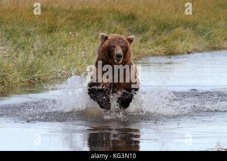 An Alaska brown bear, or grizzly, charges through the water in pursuit of salmon in Katmai National Park in Alaska. - Stock Photo