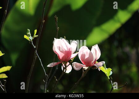 Beautiful magnolia flowers. Blooming magnolia tree in the spring. Pink flower out of focus background. - Stock Photo