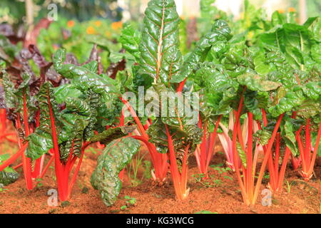 Swiss Chard. rainbow colors vegetable in a plantation. - Stock Photo
