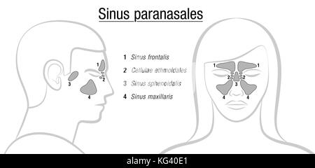 Sinuses with latin names - profile male and front view of female face. Frontal, ethmoidal, sphenoidal and maxillary - Stock Photo