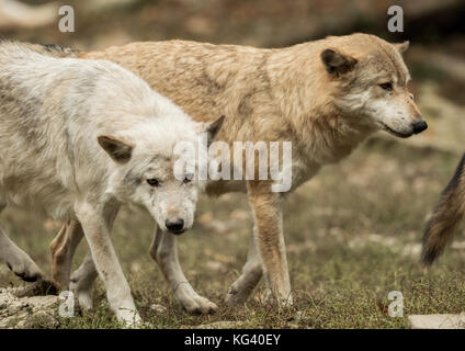 A wolf looks directly at the camera - Stock Photo