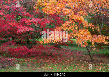 Japanese Maples, Acer palmatum, Westonbirt Arboretum, Gloucestershire, UK. - Stock Photo