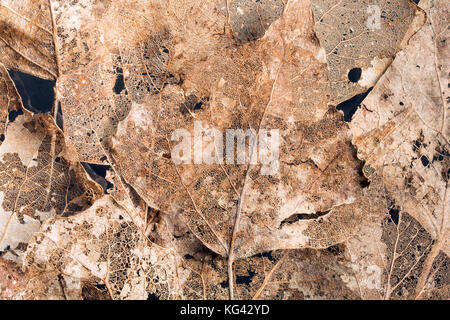 Composition of golden skeleton leaves - natural background - Stock Photo