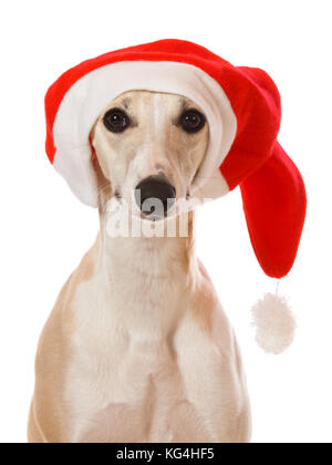 Whippet sighthound portrait with Santa Claus cap isolated on white background - Stock Photo