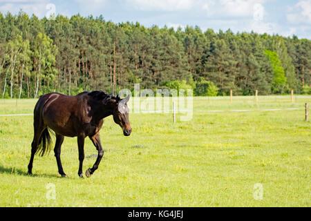 Beautiful dark bay horse walking on a meadow - Stock Photo