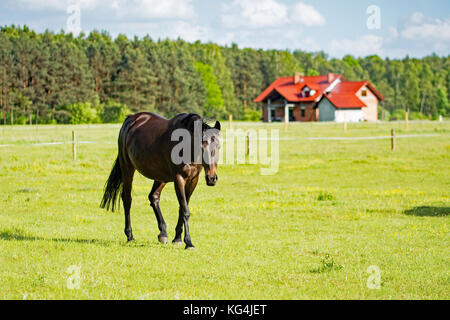Beautiful dark bay horse walking on a meadow with a house under consrtuction in the background - Stock Photo