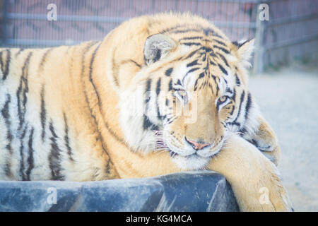 Big adult ginger tiger lying and sleeping on the tire in the zoo - Stock Photo