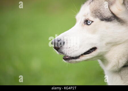 a portrait of a gray and white husky dog on a background of green grass blurred - Stock Photo