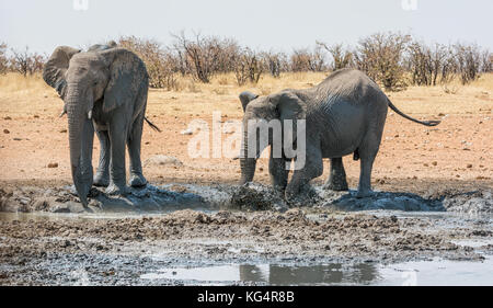 African Elephants taking a mud bath at a watering hole in Namibia - Stock Photo