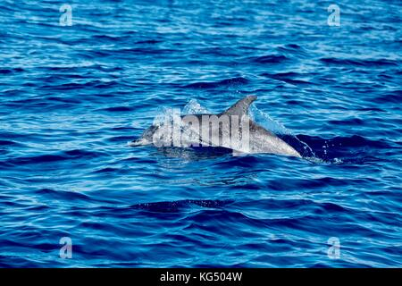 Spotted dolphins in the Azores near to Pico Island. - Stock Photo