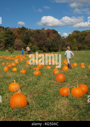 Pumpkin field in Sussex County, New Jersey - Stock Photo
