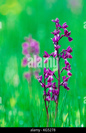 Channel Islands. Guernsey. Wild flowers. Loose-flowered Orchid growing in meadow.