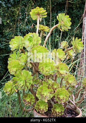 Green variety of tree houseleek Aeonium arboreum growing in a pot container in an English country garden - Stock Photo