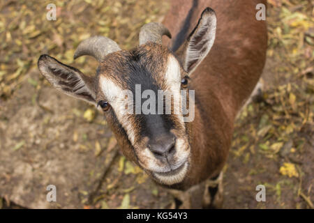 a brown goat smile to the camera , a male goat, a goat with horns - Stock Photo