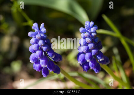 Close up of blue spring flowers grape hyacinth in spring with natural green background. Selective focus. Shallow - Stock Photo