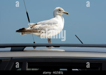 Young Herring Gull stood on top of a car in a clifftop car park - Stock Photo