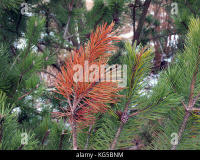 Disease damaged pine tree branch with dried red needles - Stock Photo