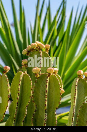 Cactus plant against a blue sky - Stock Photo