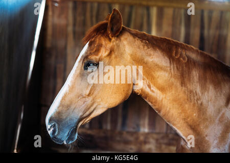 Portrait of isolated horse head standing in stable - Stock Photo