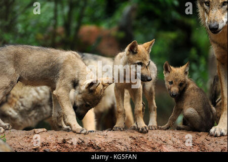 Wolves, Canis lupus, female wolf, young animals, - Stock Photo