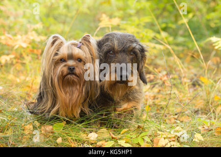 Dog Portrait of Yorkshire Terrier and Wire-haired Dachshund - Stock Photo