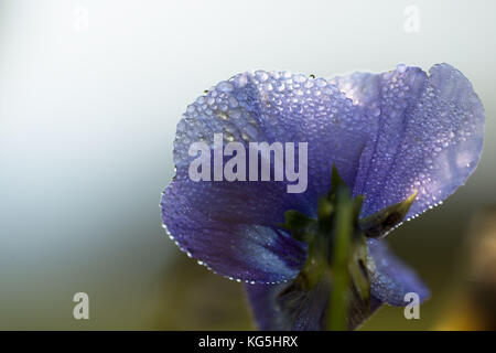 Droplets of morning dew on petal of pansy flower, light blue background - Stock Photo