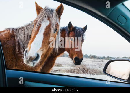 England, Hampshire, The New Forest, Ponies Looking into Car Window - Stock Photo